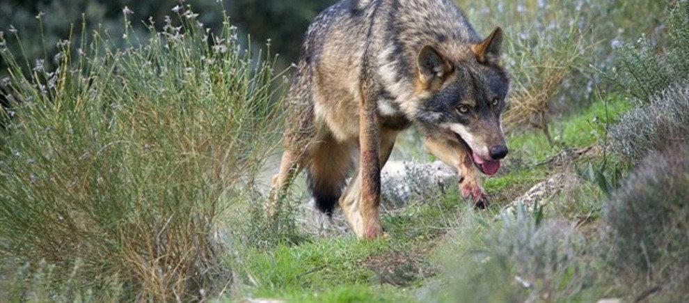 """Alcaldes del Saja y Nansa denuncian el """"uso partidista"""" de la FMC con el problema del lobo"""