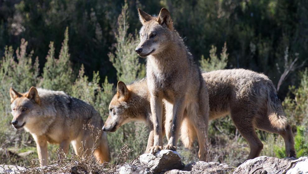 Cantabria se revela contra la orden que prohíbe cazar lobos en España